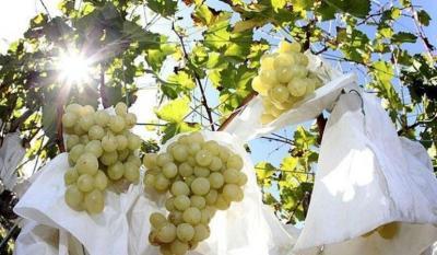 Tolomo mio produce uva de mesa